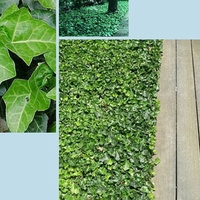 "BALTIC ENGLISH IVY 4 PLANTS - HARDY GROUNDCOVER - 1 3/4"" POTS"