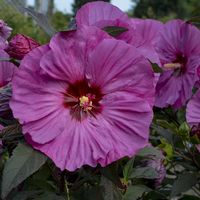Berry Awesome Hibiscus 2.5 inch potted