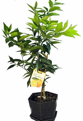 "CLEMENTINE DE NULES MANDARIN ORANGE TREE - POTTED - CITRUS - 6"" POT"