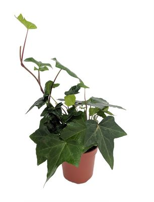 "GREEN ALGERIAN IVY - HEDERA ALGERIENSIS - 4"" POT - INDOORS OR OUT"