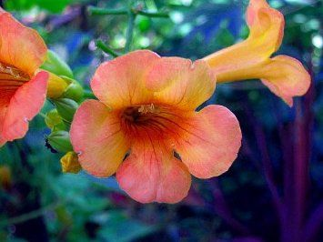 Indian Summer Trumpet Vine Plant - Campsis - 2.5'' Pot