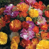 Jelly Beans' California Poppy-150 Seeds-Summer Color!