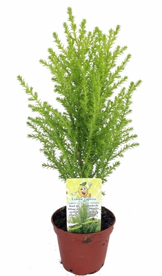 Lemon Scented Goldcrest Cypress Tree - Indoors/Out/FairyGarden - 2.5""
