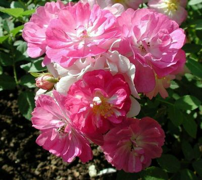 Miniature Angel Wings Rose 10 Seeds - Perennial