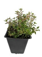 "MOSQUITO REPELLING CREEPING LEMON THYME - LIVE PLANT - 3"" POT"