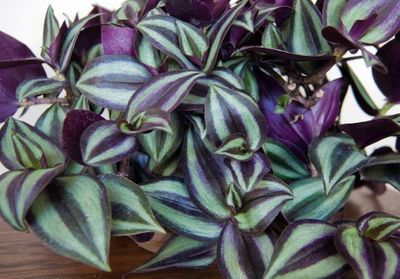 """PURPLE WANDERING JEW - 4"""" POT - EASY TO GROW HOUSE PLANT - INCH PLANT"""