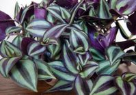 "PURPLE WANDERING JEW - 4"" POT - EASY TO GROW HOUSE PLANT - INCH PLANT"