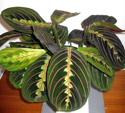 "RED PRAYER PLANT - MARANTA - EASY TO GROW HOUSE PLANT -4"" POT"
