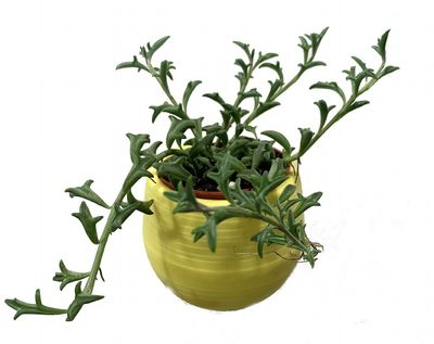 "STRING OF DOLPHINS PLANT - SENECIO - IN 3"" YELLOW SELF WATERING PLANT"