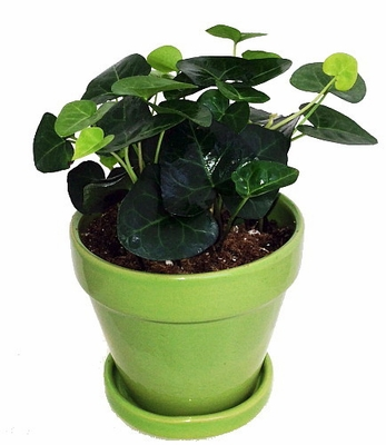"SWEETHEART ENGLISH IVY - HEDERA - 4"" GLAZED CERAMIC POT/SAUCER - LIVE"