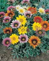 Talant Treasure Flower Gazania 20 Seeds - Annual