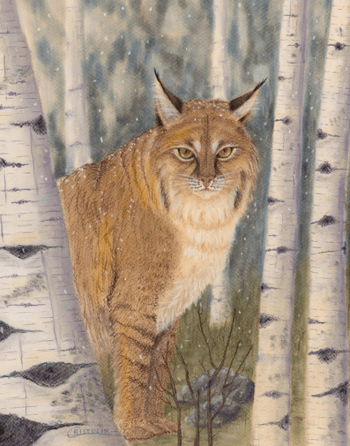 Bobcat in Birches
