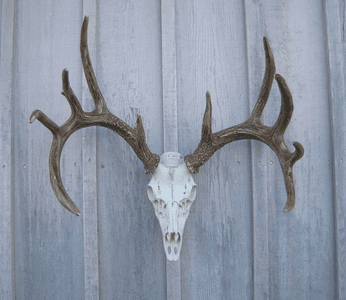 European Mount Antlers - Elk, Whitetail, Mule Deer and Moose