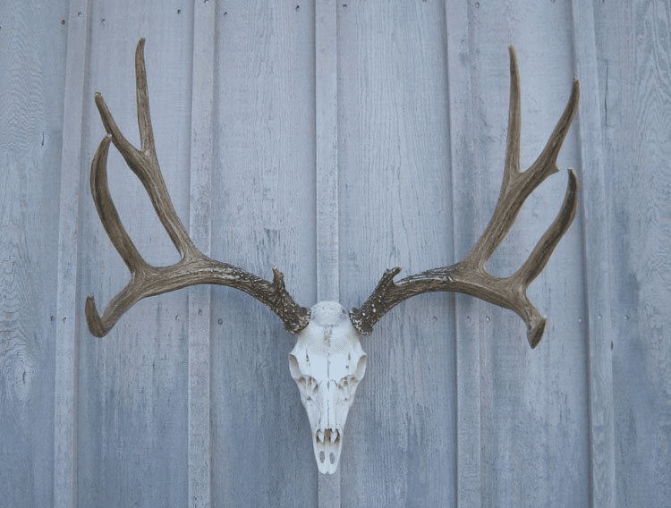 European Mount Mule Deer Antlers - Large Mule Deer