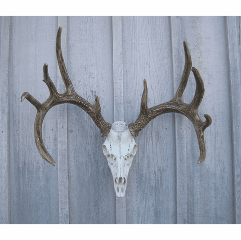 European Mount Whitetail Deer Antlers - Whitetail Horns