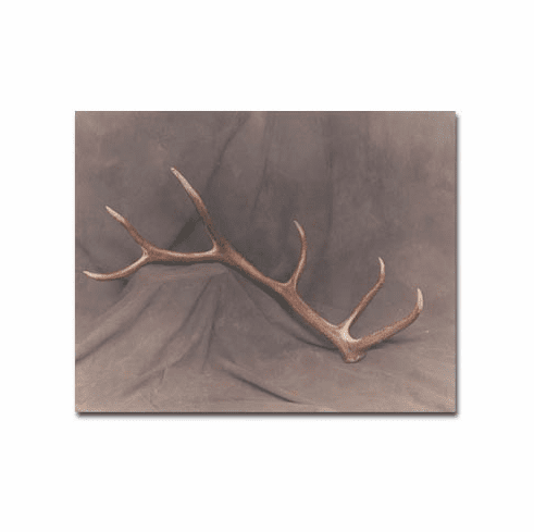 Single Cast Antlers - Whitetail Deer, Elk and Moose
