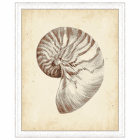 Antique Shell Study I Framed Print