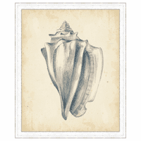 Antique Shell Study IV Framed Print