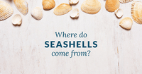 Where Do Seashells Come From?