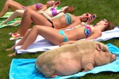 Pig Tanning for Show
