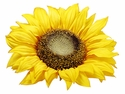 "11"" Sunflower Floating Head Silk Flower-Set of 12"