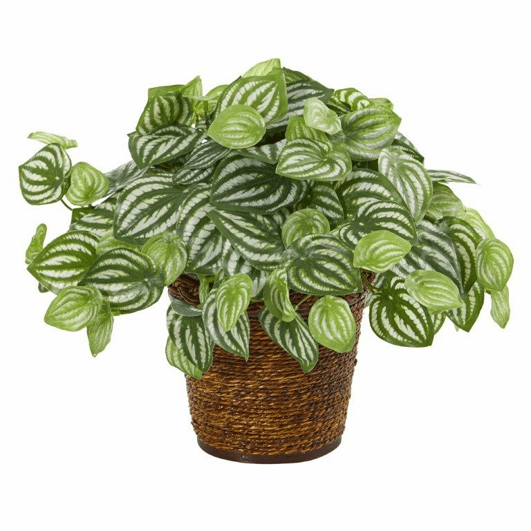 13� Watermelon Peperomia Artificial Plant in Basket (Real Touch)