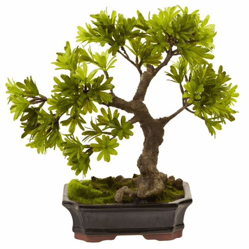 "14"" Podocarpus with Mossed Bonsai Planter"