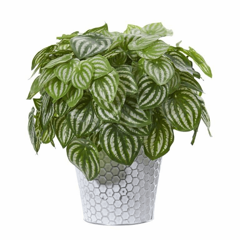 14� Watermelon Peperomia Artificial Plant in White Embossed Planter (Real Touch) -