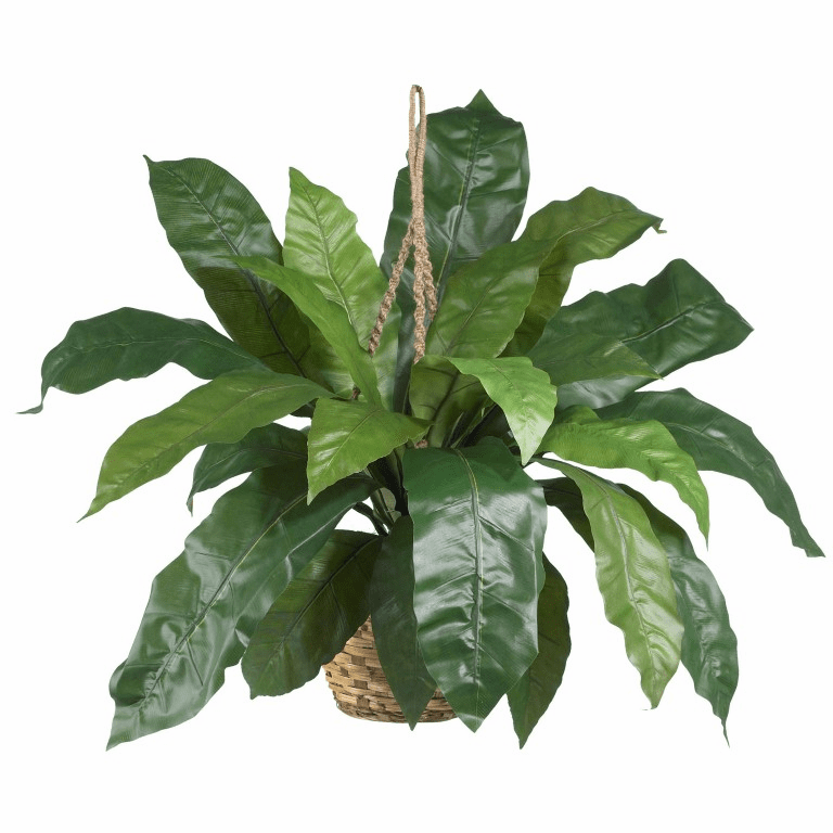 "17"" Large Birds Nest Fern Hanging Basket"