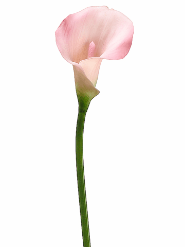 "21"" Artificial PVC Calla Lily Flower Stem - Set of 12"