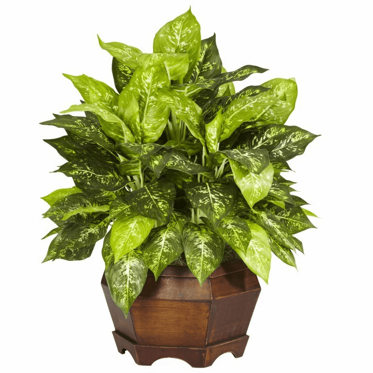 "24"" Variegated Dieffenbachia with Large Hexagon Silk Plant"