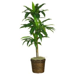 """48"""" Dracaena with Basket Silk Plant (Real Touch)"""