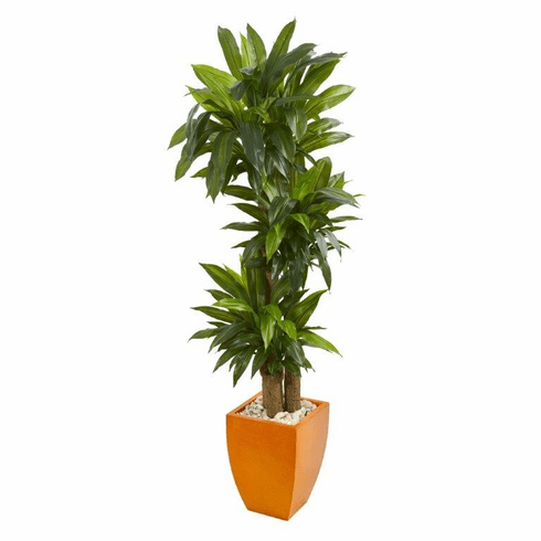 5.5' Dracaena Plant in Orange Square Planter (Real Touch)