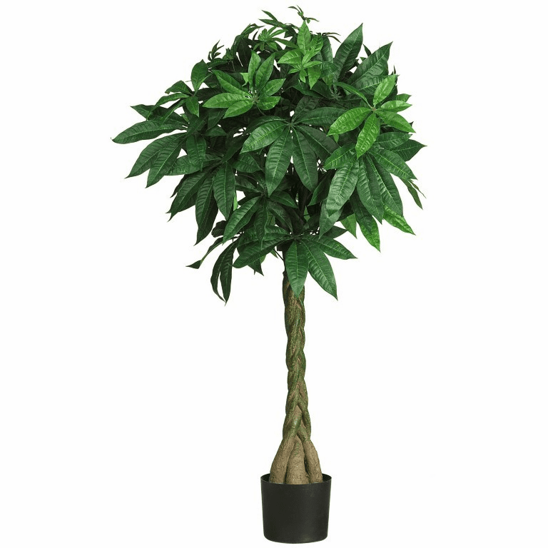 "51"" Money  Silk Tree"