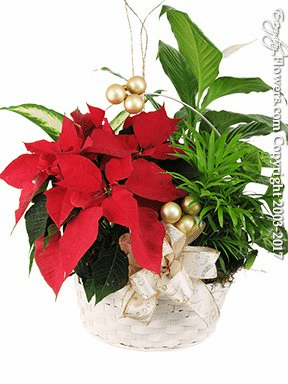 "Poinsettia Garden <p style=""color:red;"">Sold Out</p>"