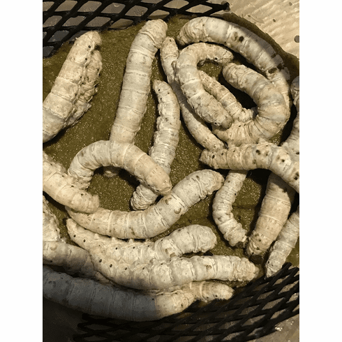 20- Large Silkworms w/4oz Food Container