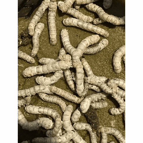 50- Small Silkworms w/6oz Food Container