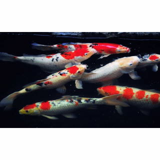 "Koi Select 4""-5""<br>Cyprinus carpio var. select<br>"