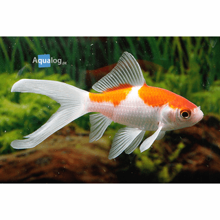 "Red And White Sarasa-3""-4""<br>Carassius auratus var. red white sarasa<br>"