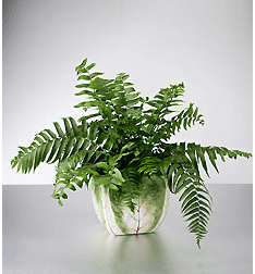 Fern Plant in Cabbage Pot