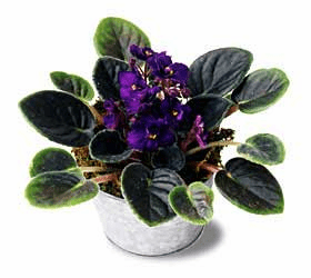The FTD® Purple African Violets