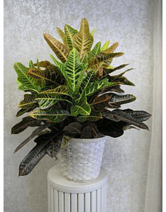 "Croton plant in 8"" basket"
