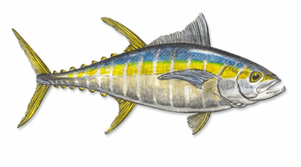 Bold Blue Stripe Tuna Wall Art