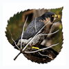 Resting Falcon Metal Wall Art