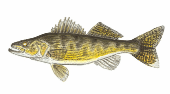 Walleye Willie Wall Hanging