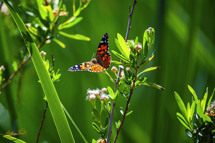Butterfly Greens