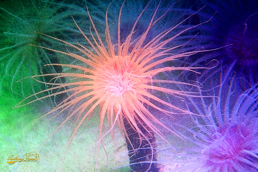 Colorful Anemones - Paintography