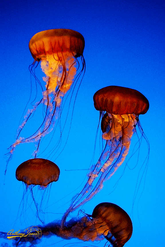 Jellyfish - Paintography