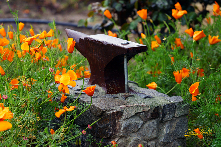 Poppies and Anvil