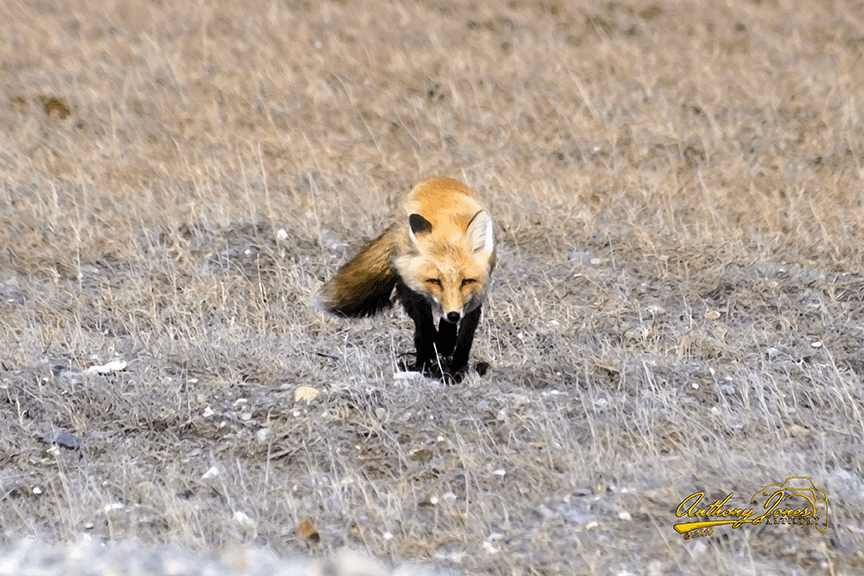 Red Fox Paintography